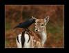 eye to eye (felt_tip_felon®) Tags: nature mammal wildlife deer fawn richmondpark rubyphotographer beyep