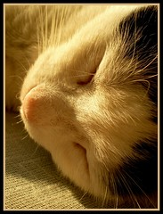 Happy dreams (sevgi_durmaz) Tags: cute nature animals cat sleepy cuteness sleepingcats kissable pamuk beautifulcats happycats beautyofnature abigfave happydreams flickrsmasterpieces