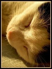 Happy dreams (sevgi_durmaz) Tags: cute nature animals cat sleepy cuteness sleepingcats kissable pamuk beautifulcats happycats beautyofnature abigfave happydreams flickrsmasterpieces