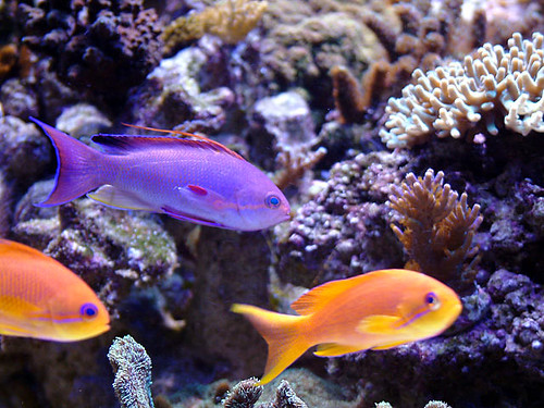 anthias12