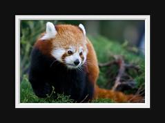 Kleine Pandabeer (Arie van Tilborg) Tags: zoo rotterdam blijdorp dierentuin diergaardeblijdorp rotterdamzoo anawesomeshot tilborg arievantilborg tlbdemonnl