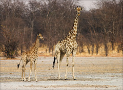 Small & Big (AnyMotion) Tags: africa travel nature animal animals tiere reisen wildlife giraffes afrika botswana 2008 naturesfinest giraffen giraffacamelopardalis anymotion abigfave