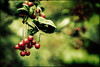 Berries (Manlio Castagna) Tags: texture edinburgh berries dof bokeh botanic manlio castagna royalbotanicgarden texturized memoriesbook manliocastagna manliok
