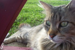 Florida Kitty (Retro Stitches) Tags: abandoned florida tabby stray straycat tabbycat dumped abandonedcat dumpedcat