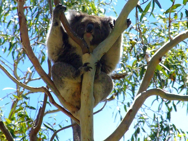 koala napping in the sun
