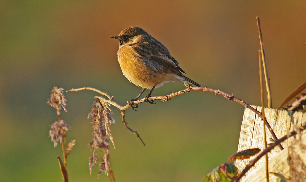 Stonechat on Exminster