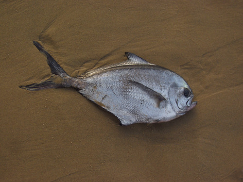 Atlantic pomfret