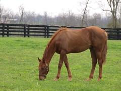 Kentucky's Finest (chet711) Tags: horse kentucky utata grazing thoroughbred