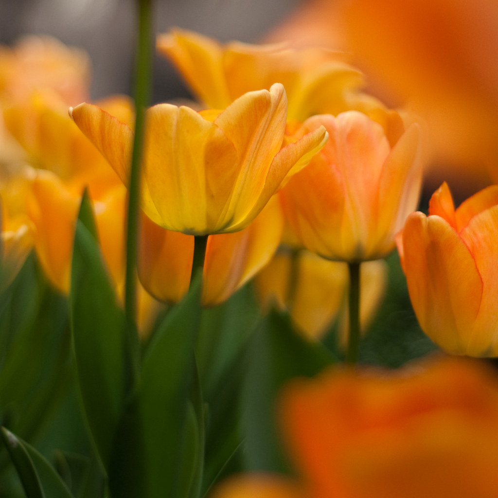 yellow-orange tulips