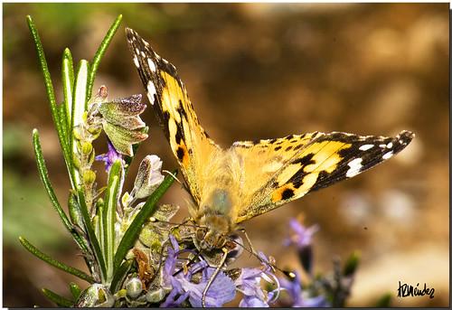 Mariposa Caldera (Vanessa cardui)