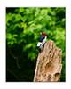 Red Headed Woodpecker May 2011 (flyfshr2009) Tags: illinois wildlife redheadedwoodpecker sony70400g sonya850