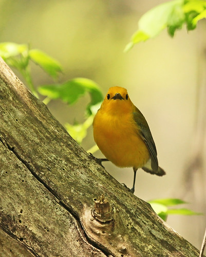 Prothonotary Warbler - Tree Dancer by JKissnHug