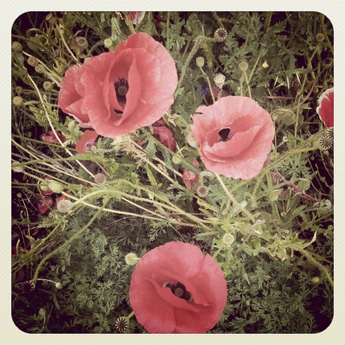 Pretty as Poppies
