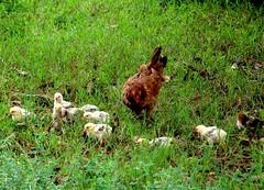 Galinha com pintinhos (eduhhz) Tags: galinha pintinho