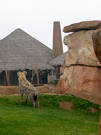 hyena-valencia