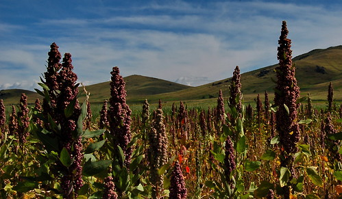 Quiñoa crop growing in the Altiplano region