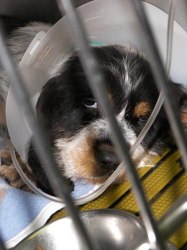 Un chiot de chasse hospitalisé, derrière les barreaux de sa cage. On aperçoit son tuyau de perfusion et son regard fatigué, ainsi que la pâleur de ses conjonctives.