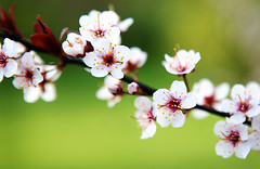 flowering plum (jaki good miller) Tags: flowers flower interestingness spring explore exploreinterestingness blooms jakigood floweringplum top500 springset flowerset explorepage explored explorepages