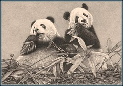 'Bamboo Breakfast' - Panda Bears - Fine Art Pencil Drawings  www.drawntonature.co.uk (kjhayler) Tags: china bear portrait blackandwhite art animal animals pencil portraits giant print artwork panda pics wildlife bears chinese bamboo naturalhistory chengdu giantpanda pandas pandabear animalart wildanimals animalprints pencildrawings wildlifeimages giantpandas drawingpictures animalpictures wildlifeart pandabears wildchina wildlifephotography wildlifephotos animalphotos animaldrawings wildlifeartists naturepictures pandaportraits photographingwildlife animalschina wildlifeportraits pandadrawing wildpictures wildlifepictures animalspictures wildlifepicture pandaphoto animalpanda openedition chinesewildlife wildlifeartist wildlifedrawings drawingphotographs kevinhayler picturepandas pandaprint pandasprints imagepandas imagespandas photospandas pandabearpictures picturespandabears portraitspandas picturesanimals picturespandas pandapictures picturepanda wildlifepandas pandaprints pandaimages pandaphotos animalspandas