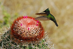brilliance - frozen in motion (brodmann's 17) Tags: cactus bird nature hummingbird stjohn soe virginislands usvi naturesfinest firstquality antilleancrestedhummingbird supershot abigfave platinumphoto anawesomeshot aplusphoto flickrplatinum favemegroup5 diamondclassphotographer megashot theunforgettablepictures picturefantastic goldstaraward flickrlovers magicdonkeysbest fotocompetition fotocompetitionbronze