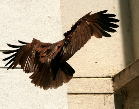 chocolate flying...brahminy kite at casa ansal 190408