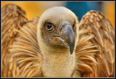 portrait (santapolero) Tags: pictures canon photography 350d photos aves fotos buitre patricio santapola rapaces eosdigitalrebelxt sigma55200dc abigfave wowiekazowie excapture santapolero