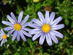 Margarita Felicia Amelloides (MantisXxl) Tags: naturaleza flores flower nature plantas rosa natura ramo ramos saveearth lasorquideasymargaritas