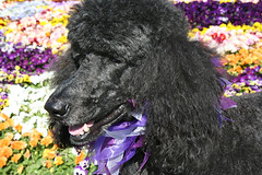 (Jean Arf) Tags: flowers dog spring pansy rochester blackdog astrid poodle highlandpark pansies standardpoodle southwedge fredericklawolmsted 14620 ribbonnecklace pansybed ellwangerbarry
