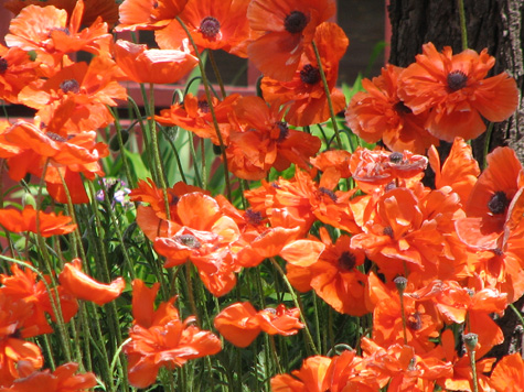 052408 Kerrytown Poppies