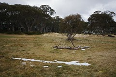 Dinner Plain (yewenyi) Tags: trees snow grass day outdoor australia victoria vic aus southaustralia dinnerplain oceania pc3741 snowgums greatalpineroad auspctagged b500 alpineshire wineandhighcountry