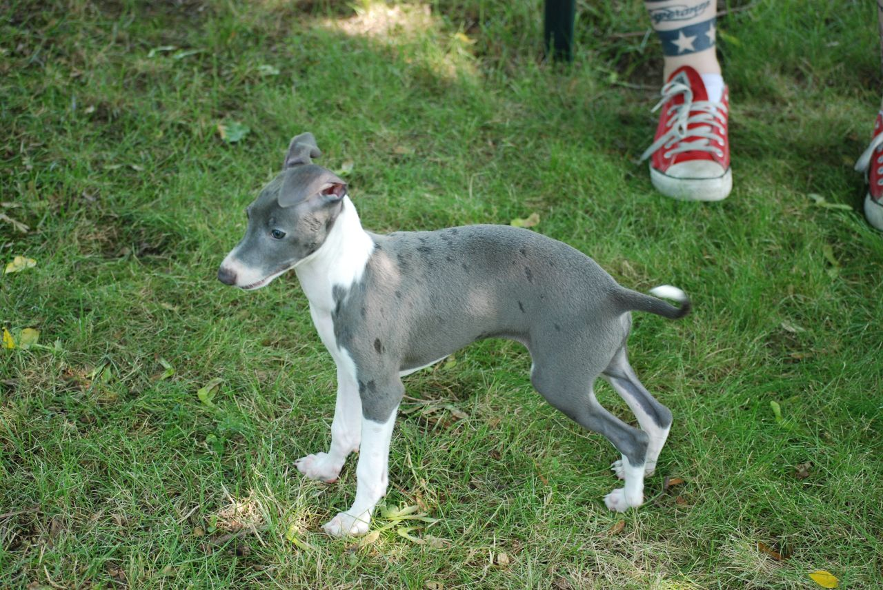 Cute Italian Greyhound puppy in the forest