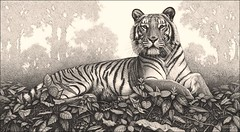 'Daybreak' - Tiger - Fine Art Drawings  www.drawntonature.co.uk (kjhayler) Tags: pictures portrait art pencil portraits print landscape image drawing wildlife tiger picture drawings images naturalhistory bigcat jungle tigers prints wildcat laos tigerprint bigcats tigress animalart wildcats wildanimals animalprints bengaltiger phet wildlifeimages drawingpictures animalpictures wildlifeart indochinese animalscats wildlifephotography wildlifephotos bengaltigers animalphotos animaldrawings wildlifeartists naturepictures tigerprints tigerportrait wildlifeportraits wildpictures phototiger animalspictures wildlifetiger picturescats tigerphoto tigerdrawing openedition tigerart tigerphotos wildlifeartist wildlifedrawings drawingphotographs kevinhayler animalstigers wildlifetigers tigerpictures tigerspictures tigerimage tigerimages photostigers picturestigers portraittiger careforthewild imagestiger picturetiger imagetiger tigerportraits bigcatpictures