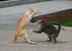 last attack (K M F) Tags: cats cat fight jump kick attack battle nails bite catfight lahore handsup lums flyingkick jumpingkick
