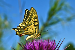 Butterfly (esther**) Tags: blue sky butterfly wings bravo greece rhodes interestingness10 interestingness18 bratanesque