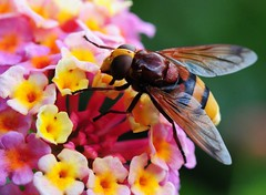 Hoverflies on Lantana (Habub3) Tags: travel flowers holiday plant macro nature fauna germany insect deutschland photo flora nikon europa europe urlaub blumen bugs lantana makro vacanze reise d300 schwebfliege hoverflies supershot wandelrschen theunforgettablepictures saariysqualitypictures flickr2009 habub3