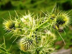 Cactus ...... (Djvu ) Tags: cactus plant green olympus needles olympusc765uz knaseer khurramnaseer