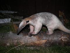 Anteater on log