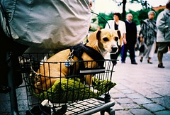dog in a basket (lomokev) Tags: street dog cute animal germany puppy munich mnchen bavaria lomo lca xpro lomography crossprocessed xprocess dof basket lomolca cobbled depthoffield cobble perro agfa jessops100asaslidefilm cushion agfaprecisa lomograph agfaprecisa100 cruzando kute precisa jessopsslidefilm roll:name=080623lomolcaa file:name=080623lomolcaa006