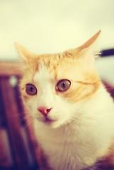 nosferatu (besimo) Tags: pet film cat eyes silent vampire nosferatu ears nostalgia katze haustier kater xprocessing tomcat tiga fwmurnau projekt365 countorlok besimmazhiqi ilovemytomcat