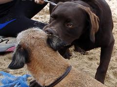 Friends (eileenbortey) Tags: uk england dog holiday beach rain buzz cornwall milo newquay chocolatelabrador borderterrier kernow