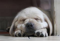A Dogs Life! (dotcomjohnny) Tags: cute labrador harvey dapa dapagroup dotcomjohnny canong9 harveymoon