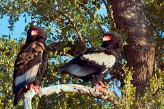 Bateleur (Terathopius ecaudatus) (Arno Meintjes Wildlife) Tags: africa wallpaper bird nature bush eagle wildlife safari explore rsa birdwatcher bateleureagle terathopiusecaudatus interestingness384 i500 anawesomeshot arnomeintjes