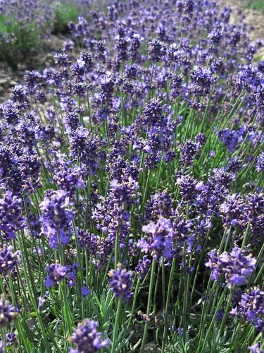 Lavender / ラベンダー