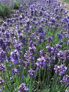 Lavender / Lavandula / ラベンダー