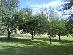 The farm; apple trees