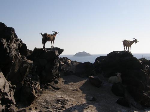 Sostis' Goats...