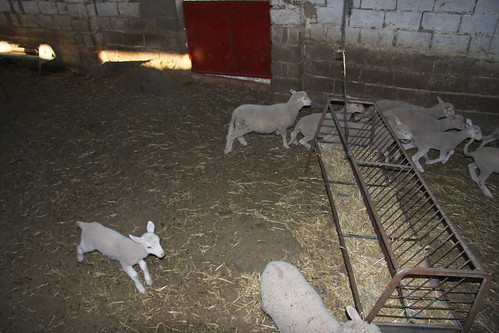 Frightened Lambs