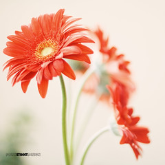 a photo a day: day 231 (PollyStreet (fiona)) Tags: flowers red 50mm bokeh gerbera shallowdepthoffield aphotoaday project365 explored natureycrap