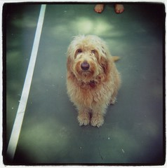 Millie (Claire Marie Vogel) Tags: dog cute 120 film feet beach yellow court puppy square golden photo claire holga waiting sitting good retriever line tennis doodle photograph poodle sit medium format laguna millie greet vogel goldendoodle