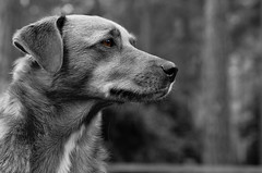 Charlie (MB Dogtography) Tags: dogs 50mm mutt crossbreed thelittledoglaughed